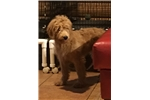 Picture of Bailey, Female Goldendoodle puppy for Sale in Ohio