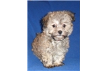 Schnoodle for sale