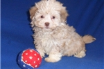 Picture of Willy HaveTzu puppy for Sale in Ohio