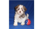 Picture of Bamboo, HavaTzu puppy for Sale in Ohio