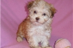 Picture of Tulip, Female HavaTzu puppy for Sale in Ohio