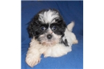 Picture of Logan, Male Havapoo puppy for Sale in Ohio