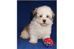 Picture of Toby, Male Havanese puppy for Sale in Ohio