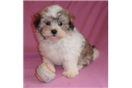 Picture of Hazel, Female Havanese puppy for Sale in Ohio