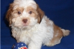 Picture of Pumpkin, Male Havapoo puppy for Sale in Ohio