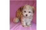 Picture of Tulip, Female HavaTzu puppy for Sale in Ohio