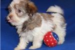 Picture of Bamboo, HavaTzu puppy for Sale in Ohio
