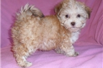 Picture of Tulip, HavaTzu puppy for Sale in Ohio