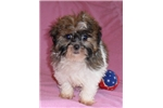 Picture of Mable, Female Havapoo puppy for Sale in Ohio