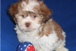 Picture of Copper, Male Havapoo puppy for Sale in Ohio