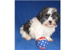 Picture of Walker, Male Havapoo puppy for Sale in Ohio