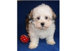 Picture of Hank, Male Havanese puppy for Sale in Ohio