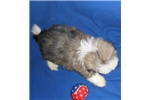 Picture of Elvis, Male Havapoo puppy for Sale in Ohio