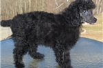 Picture of Shadow. Male Miniature Poodle for Sale in Ohio
