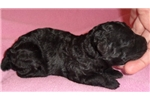 Picture of Puffin II, Miniature Poodle Puppy for Sale in Ohio