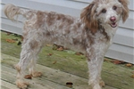 Picture of Mocha, Miniature Poodle Puppy for Sale in Ohio