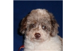 Picture of Cubby, Male Mini Poodle puppy for Sale in Ohio