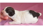 Picture of Mini, Miniature Poodle Puppy for Sale in Ohio