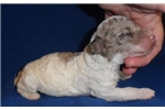 Picture of Cubby Jr.  Miniature Poodle Puppy for Sale in Ohio