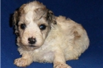 Picture of Dexter, Male Schnoodle puppy for Sale in Ohio