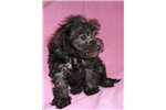 Picture of Daisy, Female Schnoodle puppy for Sale in Ohio