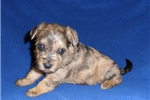 Picture of Baxter, Male Schnoodle puppy for Sale in Ohio