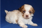 Picture of Corkie, Male ShihPoo puppy for Sale in Ohio