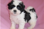 Picture of Lilly, Female Shih Poo puppy for Sale in Ohio