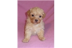 Picture of Punkin, Female ShihPoo puppy for Sale in Ohio