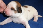 Picture of Toby, Male Shih Poo puppy for Sale in Ohio