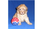 Picture of Nugget, Male ShihPoo puppy for Sale in Ohio