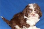 Picture of Cocoa, Male Shih Poo puppy for Sale in Ohio