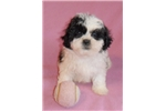 Picture of Posey, Female Shih Poo puppy for Sale in Ohio