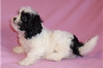 Picture of Daffodil, Female Shih Poo puppy for Sale in Ohio