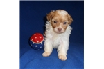Picture of Scooter, Male ShihPoo puppy for Sale in Ohio