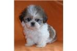 Picture of Gizmo, Male Shih Tzu puppy for Sale in Ohio
