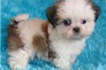 Picture of Peaches, Female Shih Tzu puppy for Sale in Ohio