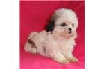 Picture of Gidget, Female Shih Tzu puppy for Sale in Ohio
