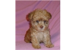 Pugapoo for sale