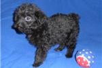 Picture of Coal, Male T-cupYorkiepoo puppy in Ohio
