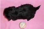 Picture of Ebony, Female Yorkiepoo puppy for Sale in Ohio