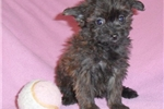 Picture of Tiny Tina, Female Yorkiepoo puppy for Sale in Ohio