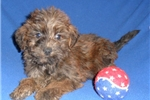 Picture of Marcus, Male Yorkiepoo puppy for Sale in Ohio