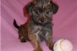 Picture of Maria, Female Yorkiepoo puppy for Sale in Ohio