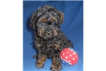 Picture of Romeo, Male Yorkiepoo puppy for Sale in Ohio
