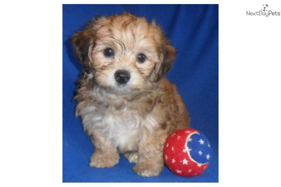 Yorkie Poo Rescue Dogs
