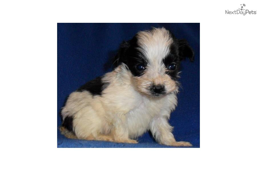 Toy Yorkie Poo For Sale | Dog Breeds Picture