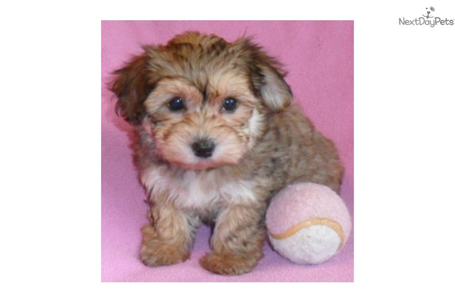 Adult yorkie poo picture something is