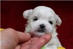 Picture of Handsome lil fellow- Maltese X Shih Tzu Dallas!