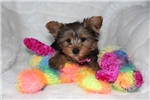 Picture of AKC Teddy Bear faced Girl!